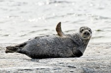 seal-baltic-sea