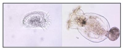Microzooplankton